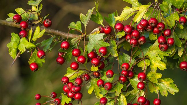 This image has an empty alt attribute; its file name is hawthorn-berry-benefits-1296x728-feature-650x365.jpg